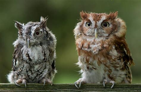 screech owls in west virginia fuzzy cute and creepy