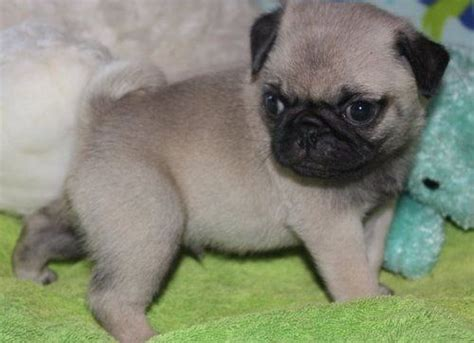 best pug breeders uk pug dogs for sale pug puppies for sale pets for sale uk pet classified ads