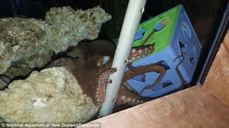 Small Octopus For Home Aquarium Inky The Octopus Escapes From National Aquarium In