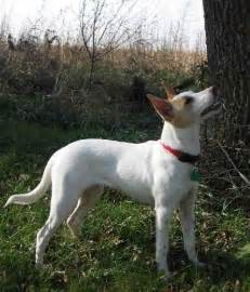 feist chihuahua dogs breeds picture