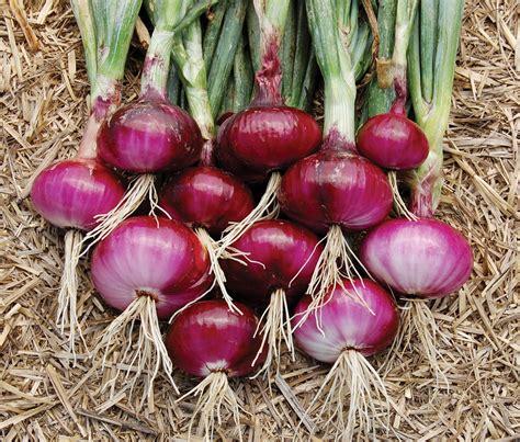 Bibit Daun Bawang Dataran Rendah bawang merah jual bibit tanaman