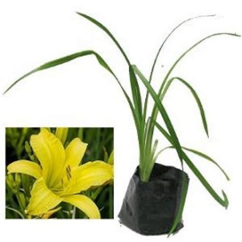 Bibit Lemon Kuning jual tanaman daylily kuning lemon hp 085608566034