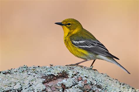 pine warbler coniferous forest