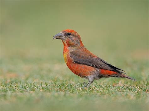 red crossbill 9