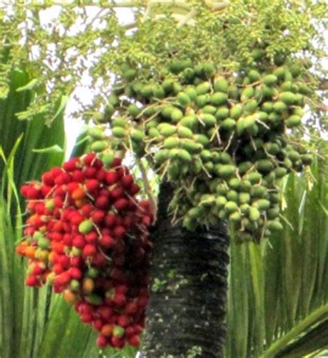 palm tree fruit name palm tree landscape perfection
