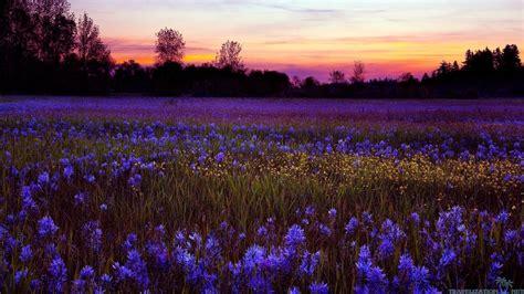fiori bellissimi sfondi sfondo quot paesaggi bellissimi fiori viola quot 1366 x 768