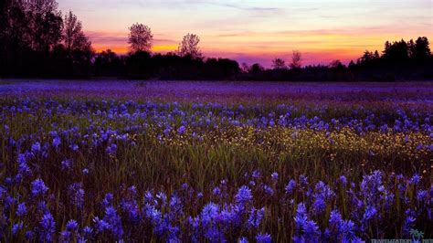 paesaggi di fiori sfondo quot paesaggi bellissimi fiori viola quot 1366 x 768