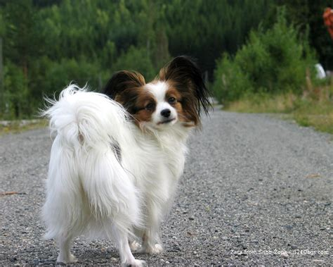 miniature dogs papillon all small dogs wallpaper 18774258 fanpop