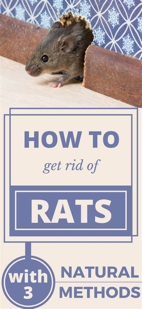 how to get rid of rats forever with 3 methods