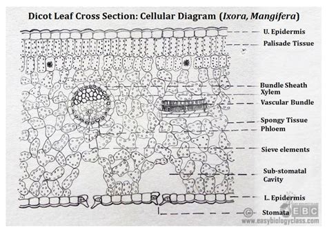 dicot leaf cross section diagram ts of dicot leaf under a microscope ppt easybiologyclass