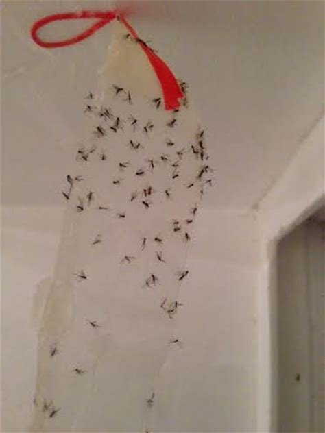 gnat infestation in bathroom gnats in basement doityourself com community forums