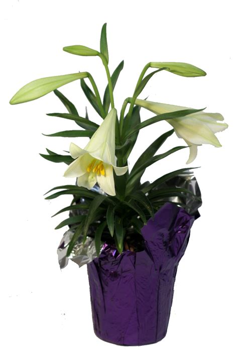 can easter lilies be planted outside easter pennock floral