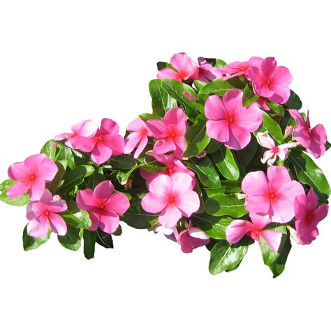 small pink flowers immediate entourage