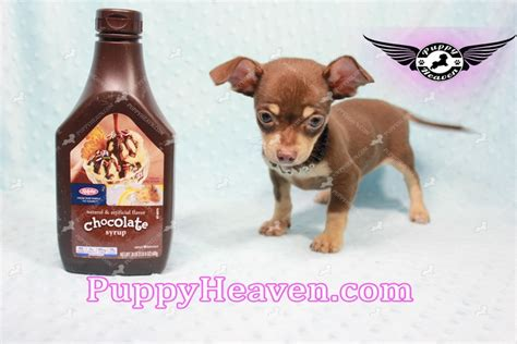 teacup chiweenie puppies for sale teacup chiweenie www pixshark images galleries with a bite