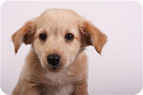 miniature pinscher golden retriever mix kirk adopted puppy indianapolis in miniature pinscher golden retriever mix