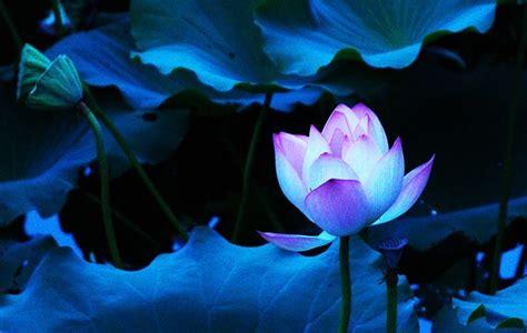 blue lotus flower high blue lotus wallpaper search flowers