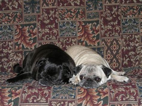 Black Pugs Shed Less by Any Other Pug Owners Post Here How Much Allergic