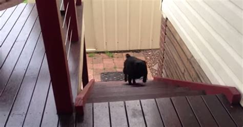 pug hopping up stairs pug takes the stairs dogtime