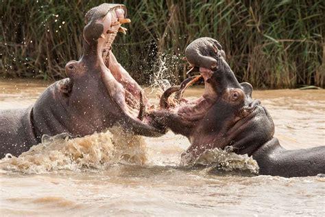 si鑒e social hippopotamus angry hippo flings newborn calf into the air 187 focusing on