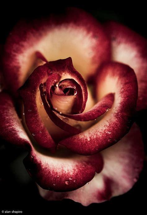 by alan shapiro photographers pinterest rose by alan shapiro photography amazing world