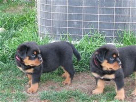 rottweiler puppies for sale in raleigh nc rottweiler puppies for sale