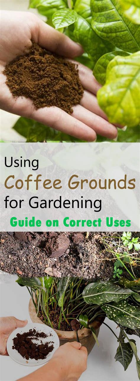 Using Coffee Grounds For Gardening Guide On Correct Uses Coffee Grounds Vegetable Garden