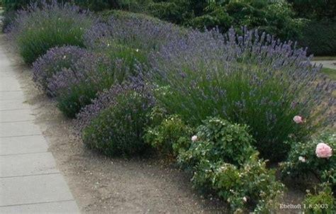 lavanda giardino lavanda inglese piante da giardino lavanda inglese