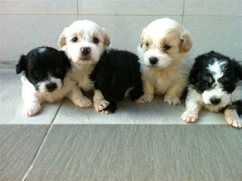 miniature shih tzu puppies for adoption ready for adoption poodle miniature shih tzu mixed to breeds picture