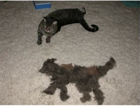 Cat Shedding Much Fur by Cat Astrophy How To Handle And Deal With Shedding The