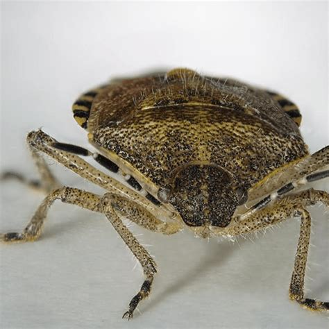 how to get rid of stink bugs in my house how to get rid of stink bugs how to get rid of stuff