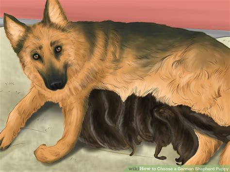 how to a german shepherd puppy how to choose a german shepherd puppy with pictures wikihow