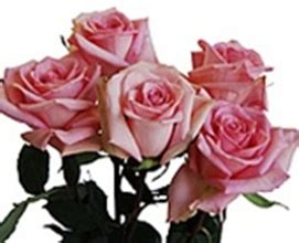 En Catherine Flower katherine standard roses flowers by category