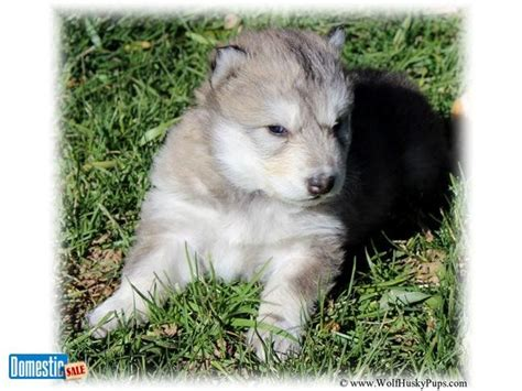 high content wolfdog puppies for sale 45 best images about our favorite pics on wolves wolf puppies and