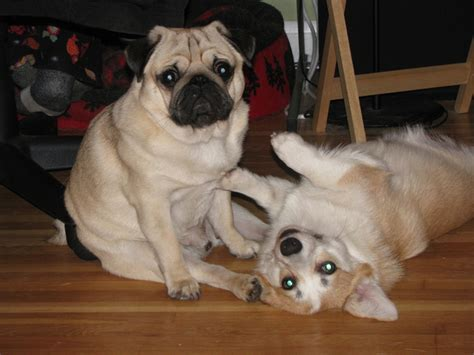 corgi and pug 21 pug and corgi best friends who will be the thing