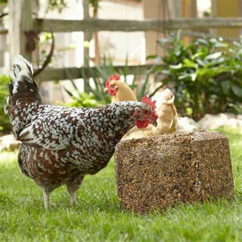 Backyard Chickens Diet Backyard Poultry Flock Health Education Purina Animal