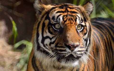 sumatran tiger tiger facts and information