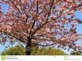 pommier d 233 coratif en fleur photos stock image 4765863