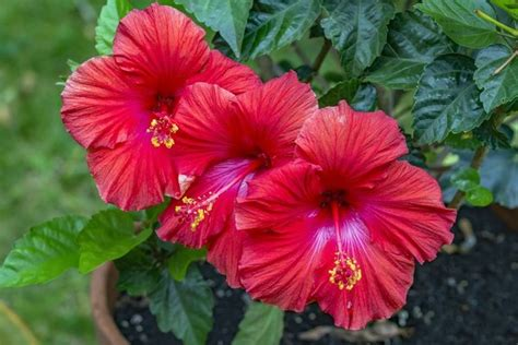 fiori di ibisco ibisco coltivazione hibiscus hibiscus piante da
