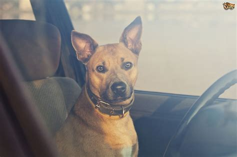 dogs in cars dogs die in cars why you should never leave your in the car unattended