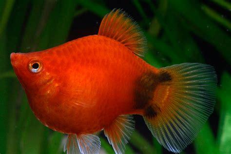 Makanan Ikan Hias Molly cara budidaya ikan platy yang terlihat unik informasi