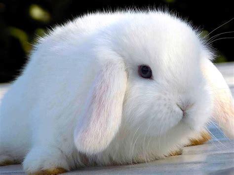 alimentazione conigli nani la nuova fattoria conigli nani da compagnia razze