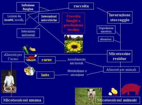 micotossine negli alimenti micotossine negli alimenti e micotossicosi animale e umana