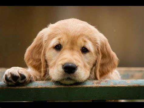 leash golden retriever puppy golden retriever puppy how to leash a puppy