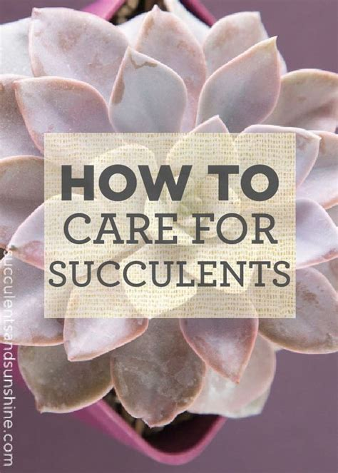the basics of caring for succulents focus on plants and it is