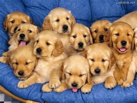 golden retriever breeders in delaware siblings golden retriever puppies pap 233 is de parede para pc fotos cachorros