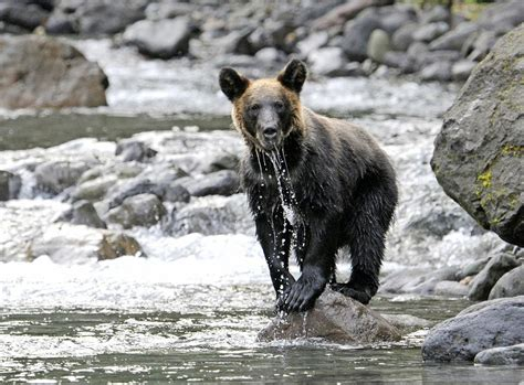 japans brown bears shifted   vegetarian diet anchorage daily news