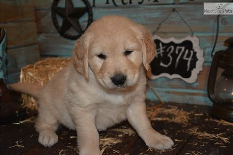 golden retriever puppies for sale in iowa golden retriever puppy for sale near des moines iowa 597b35be 6071