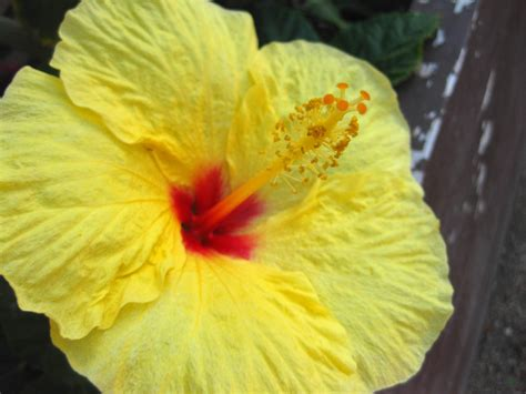 yellow hibiscus state flower of hawaii http wp me p1gkzp another bright idea hello honolulu