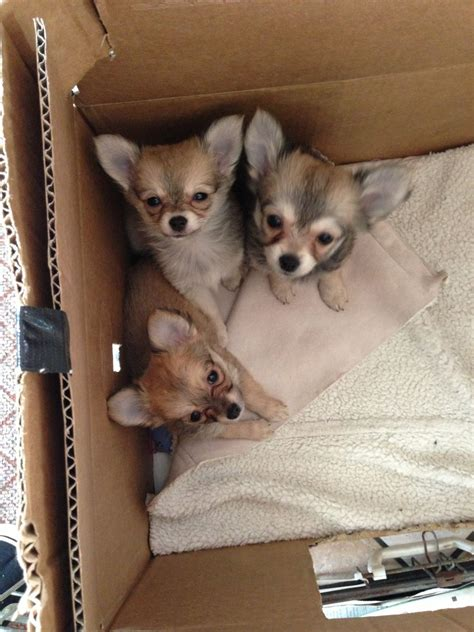 chihuahua and pomeranian puppies pomeranian chihuahua puppies for sale stoke on trent staffordshire pets4homes