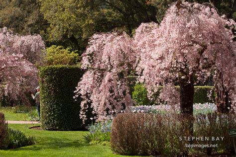 photo blooming cherry trees at filoli gardens